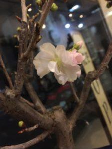 関内の美容室BOB店内の桜