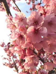 関内の美容室BOBのスタッフが好きな桜の季節